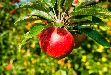 Cómo la inteligencia artificial nos ayuda a contar manzanas